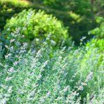 クラリセージ精油の効能-甘く懐かしい草原の香り