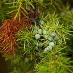 ジュニパーベリー精油の効能-突き抜ける森林の香り