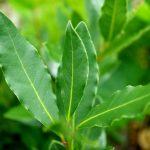 ローレルリーフ精油の効能-軽い甘さを含むさわやかな香り