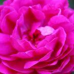 ローズアブソリュート精油の効能-濃厚なバラそのものの香り