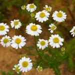 カモミール・ジャーマン精油の効能-フルーティで干し草に似た香り